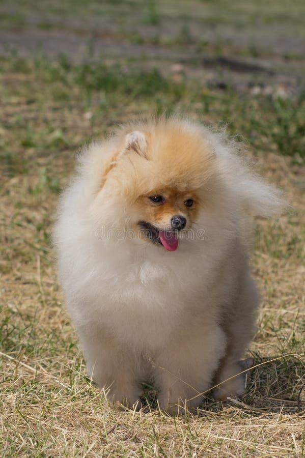 Желтая собака Pomeranian, полностью рост от фронта стоковые фото
