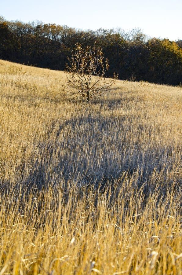 Желтая степь с деревом в середине против леса осенью с тенью на траве стоковые фотографии rf