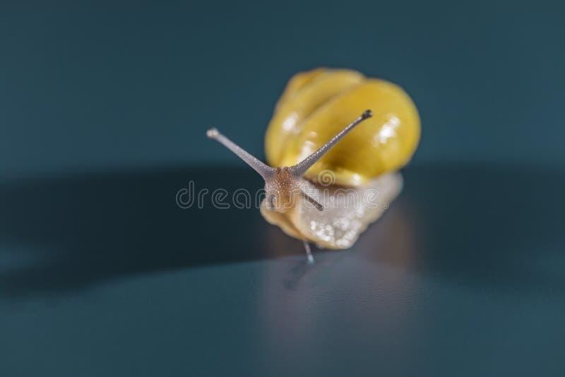 Желтая съемка макроса улитки стоковое изображение rf