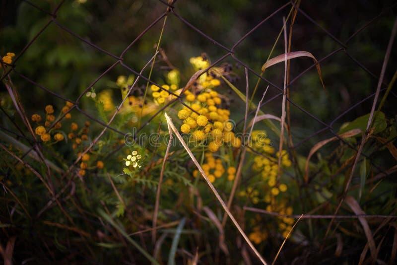 желтая трава загородки металла текстуры макроса конца-вверх пижмы цветка стоковое изображение