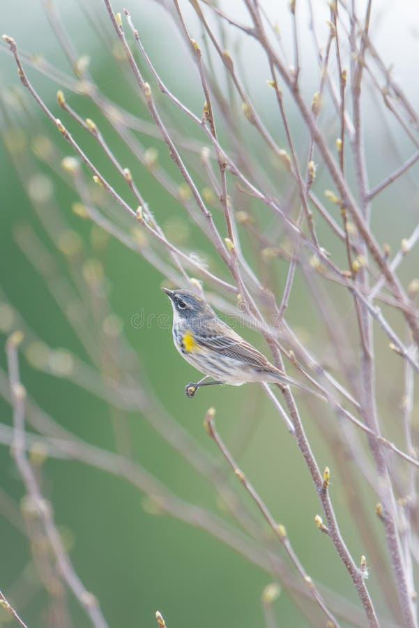 Желтая-rumped певчая птица в зоне живой природы озера рыб в северном Висконсине - во время миграций птиц весны с бутонами и молод стоковое изображение rf