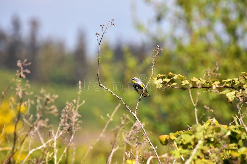 Желтая-rumped певчая птица садится на насест на ветви стоковые изображения
