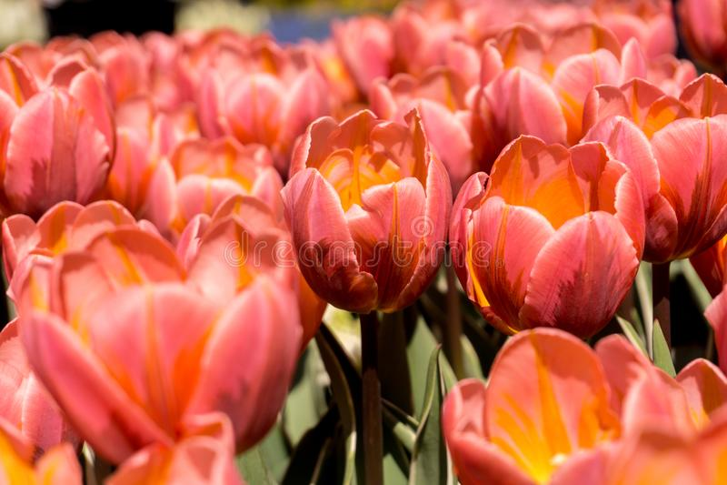 Желтоватое поле тюльпанов стоковое изображение rf