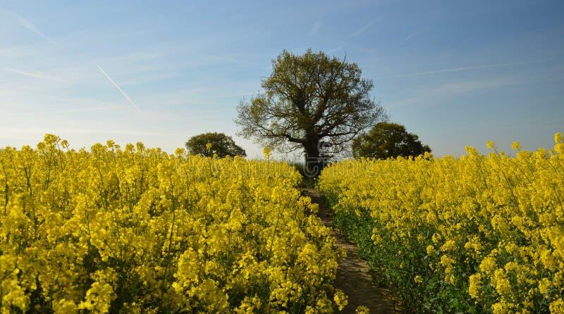 Желтое поле Англии стоковое фото rf
