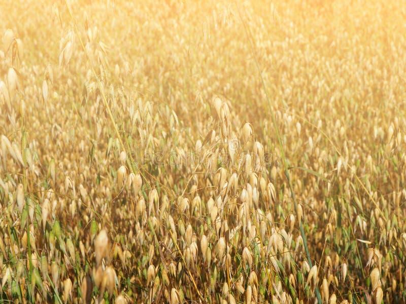 Желтое поле овсов стоковые изображения rf