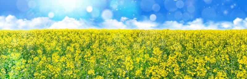 Желтое поле рапса семени масличной культуры под голубым небом с солнцем стоковое фото rf
