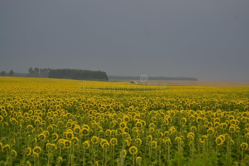Желтое поле солнцецвета в тумане стоковая фотография rf