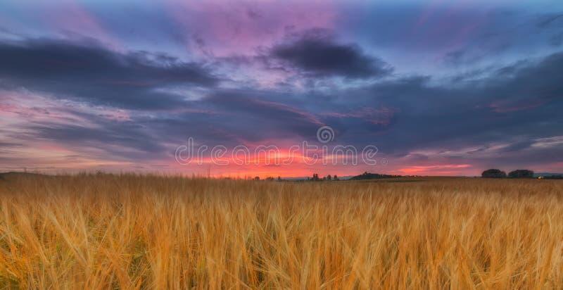 Желтое поле хлопьев под пасмурным восходом солнца стоковые изображения rf