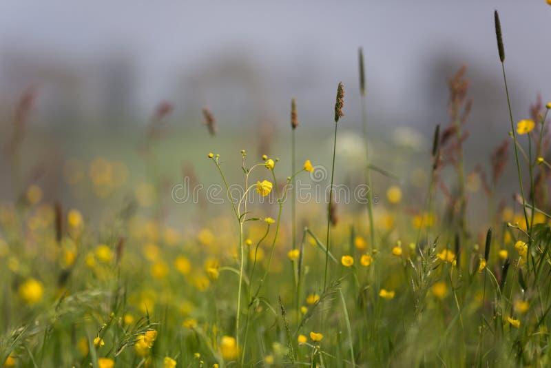 Желтое поле цветков лютика на весенний день overcast с туманным стоковые фото