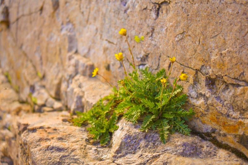 Желтое растущее цветка в Crevice стоковое изображение rf