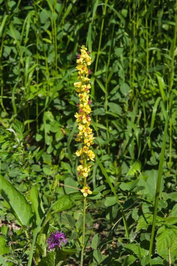 Желтое цветене большого конца-вверх mullein или thapsus Verbascum, селективного фокуса, отмелого DOF стоковые изображения