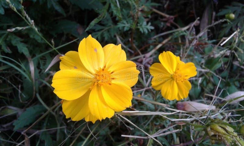 Желтое цветене стоковые изображения rf