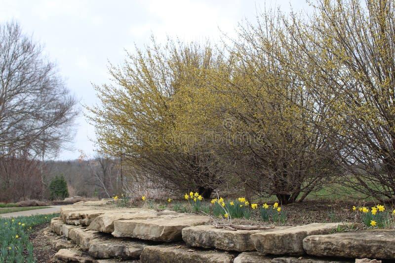 Желтое цветене Forsythia и daffodils стоковое фото