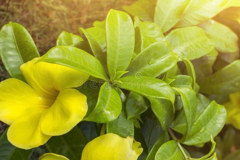 Желтое cathartica Allamanda цветка стоковое изображение rf