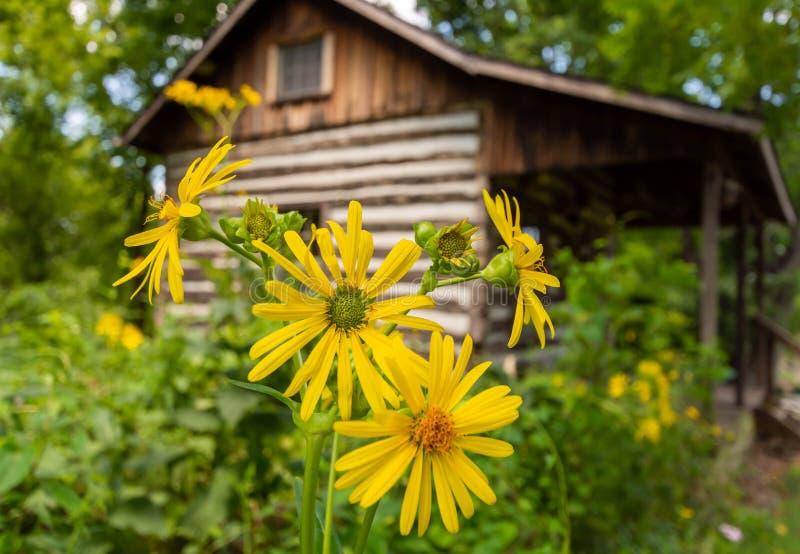 Желтое Daisys и бревенчатая хижина стоковые изображения rf