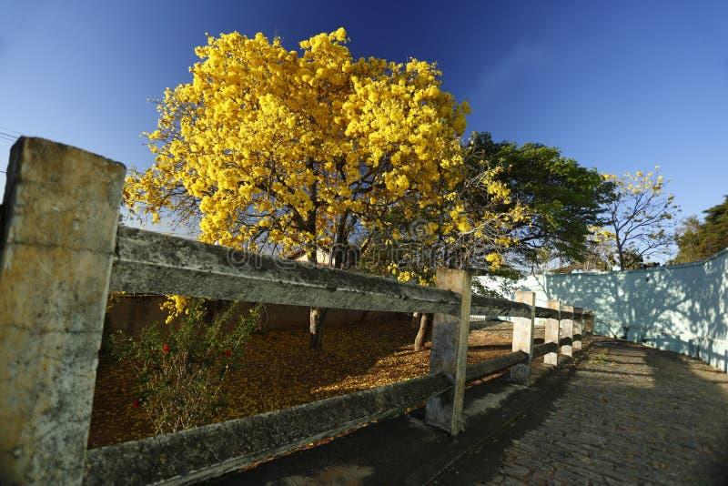 Желтое Ipê на каменном пути стоковое фото rf