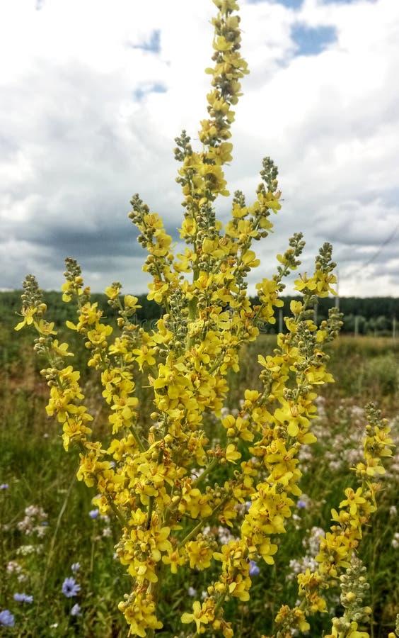 желтое mullein в поле стоковое изображение rf