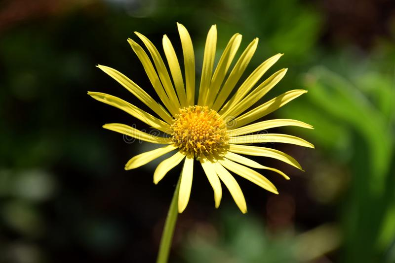 Желтое springflower salicifolium Buphthalmum глаза вола на sunlid стоковые фотографии rf