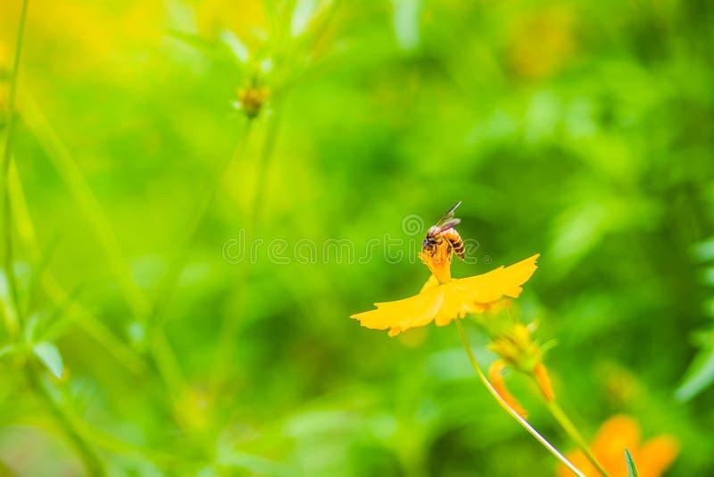 Желтое sulphureus космоса цветет с малой черной пчелой и зеленый цвет выходит предпосылка Sulphureus космоса также как cosmo серы стоковое фото rf