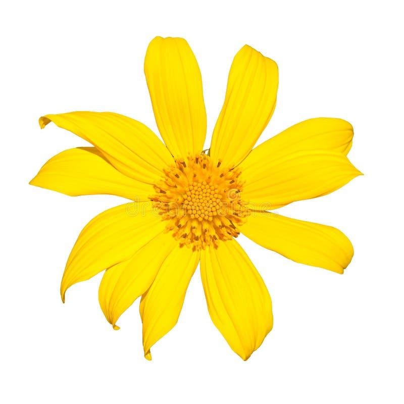Желтое topinambur цветка артишока Иерусалима изолированное на белой предпосылке стоковое фото