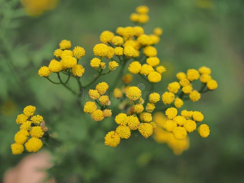 Желтое vulgare Tanacetum цветков пижмы, общая пижма, горькая кнопка, корова горькая, или золотые кнопки в зеленом луге лета стоковое изображение rf
