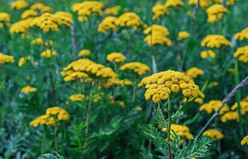 Желтое vulgare Tanacetum цветков пижмы, общая пижма, горькая кнопка, корова горькая, или золотые кнопки в саде лета стоковая фотография
