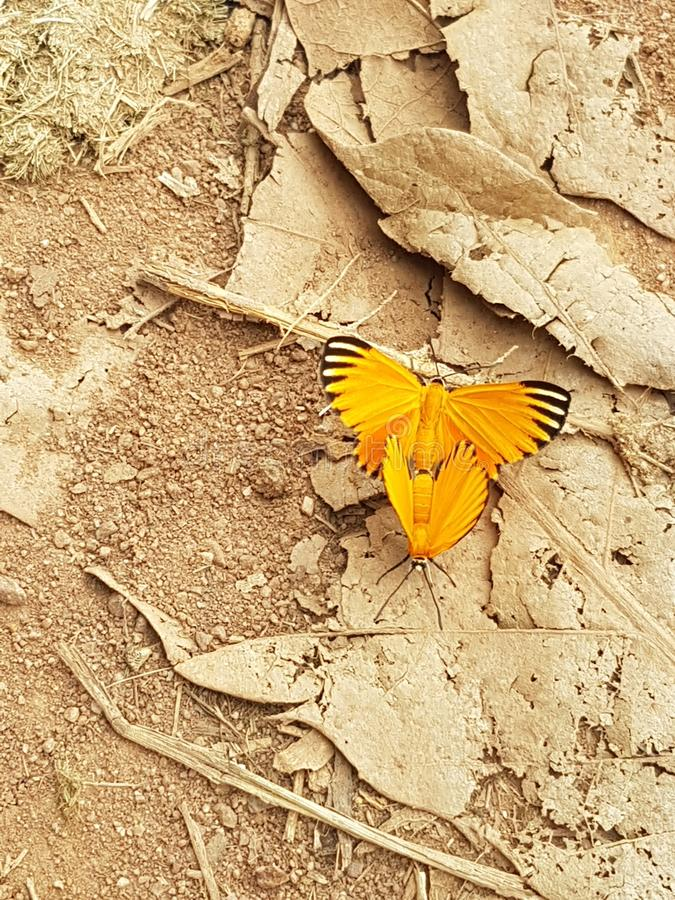 Желтые бабочки стоковая фотография rf
