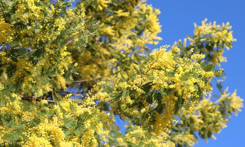 Желтые вызванные цветки Мимозой дерева акации также вызвали Wattles стоковые фото
