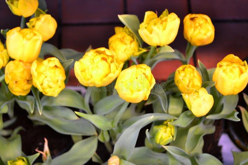 Желтые голландские заводы тюльпанов вектор иллюстрации карточки романтичный Подарок валентинки Цветок сада пасха счастливая стоковое фото