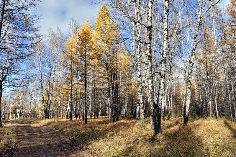Желтые деревья лиственницы и березы загоренные по солнцу в лесе осени стоковые изображения rf