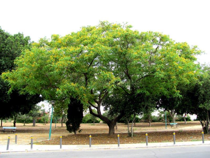 Желтые деревья цветка в Никосии, Кипре стоковое фото