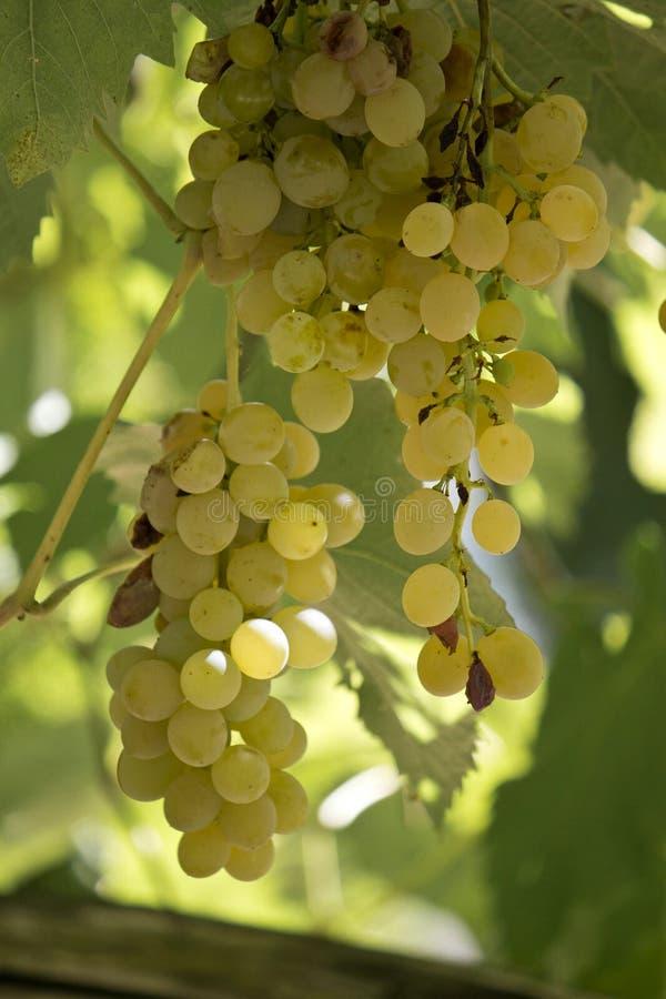 Желтые итальянские виноградины стоковые изображения rf