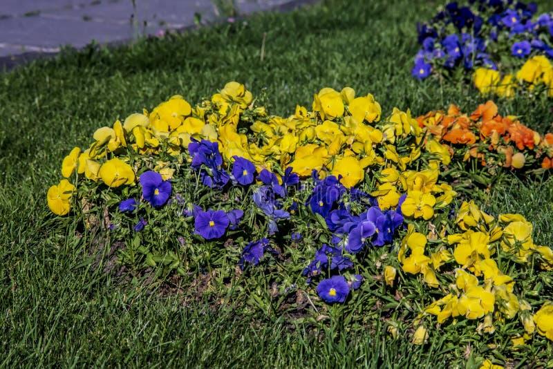 Желтые и голубые альты в саде города стоковое фото