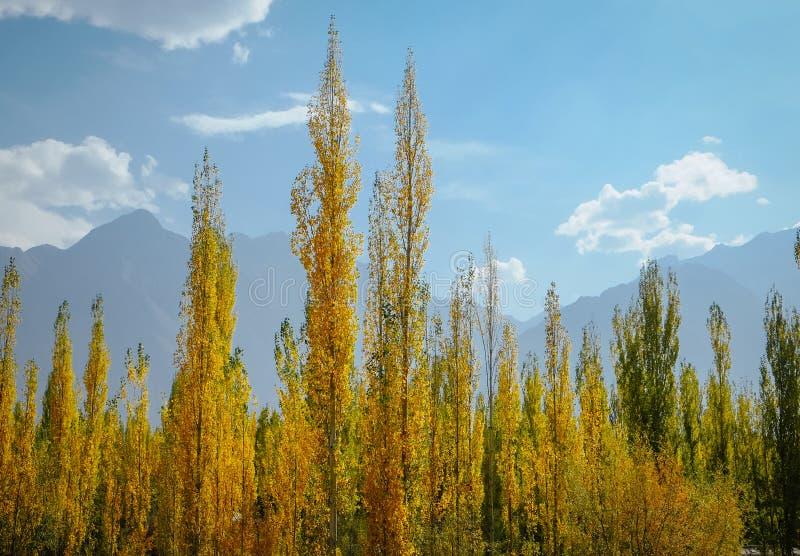 Желтые и зеленые листья осенне насаждают тополя на голубое небо и горы стоковая фотография