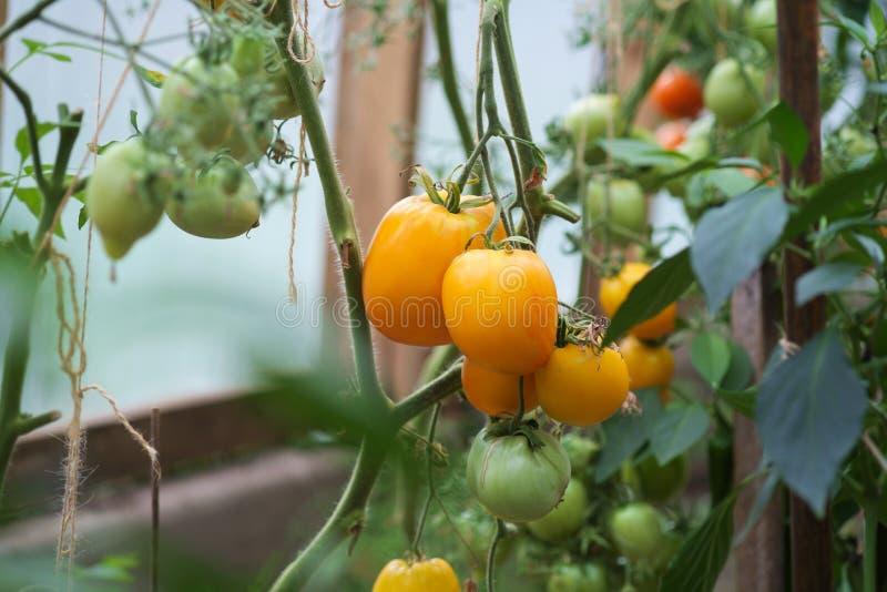 Желтые и зеленые органические томаты стоковые фотографии rf