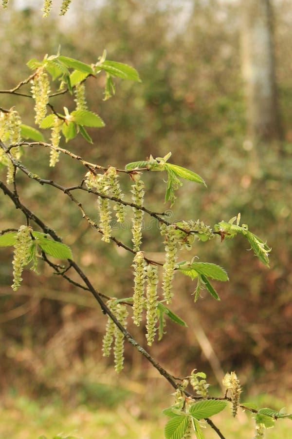 Желтые и зеленые Catkins вися от дерева с предпосылкой запачканной сельск стоковые изображения rf