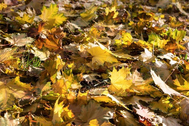 Желтые и коричневые листья лежат на земле Осенняя листва, осенняя пастуха, как природный фон стоковое фото rf