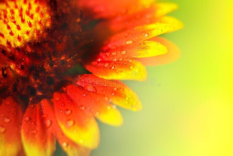 Желтые и красные лепестки цветков в капельках воды естественное предпосылки флористическое близкий макрос мухы цветка отдыхая вве стоковое фото