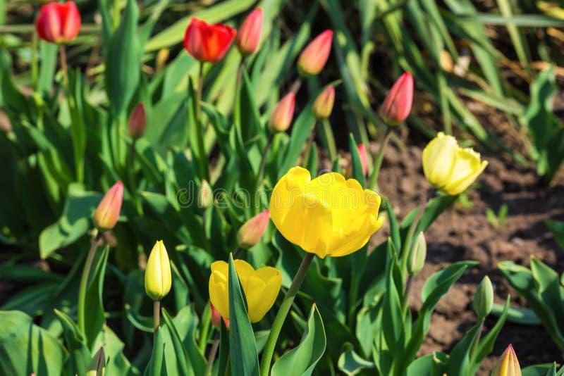 Желтые и красные тюльпаны на кровати на солнечный день стоковые изображения rf