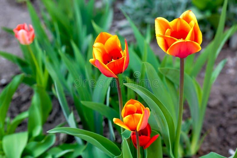 Желтые и красные тюльпаны стоковое изображение rf