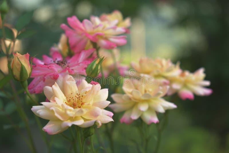 Желтые и розовые розы стоковые фотографии rf