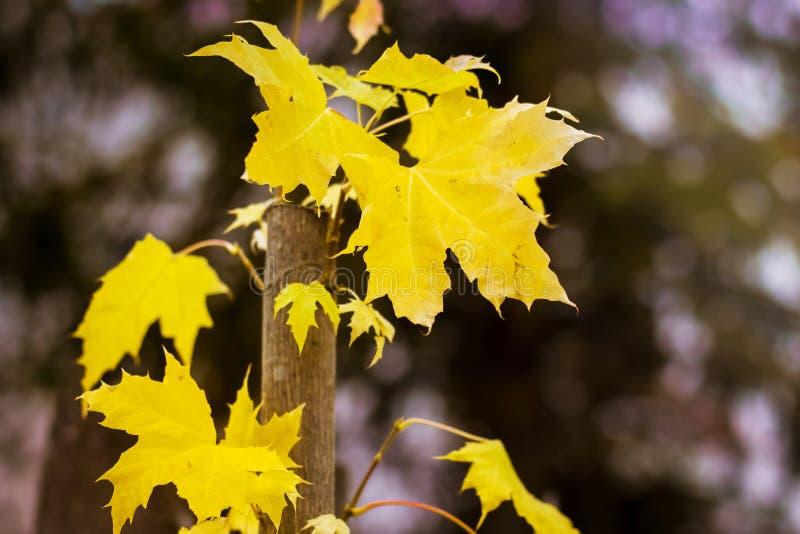 Желтые кленовые листы в лесе на темном background_ стоковое фото
