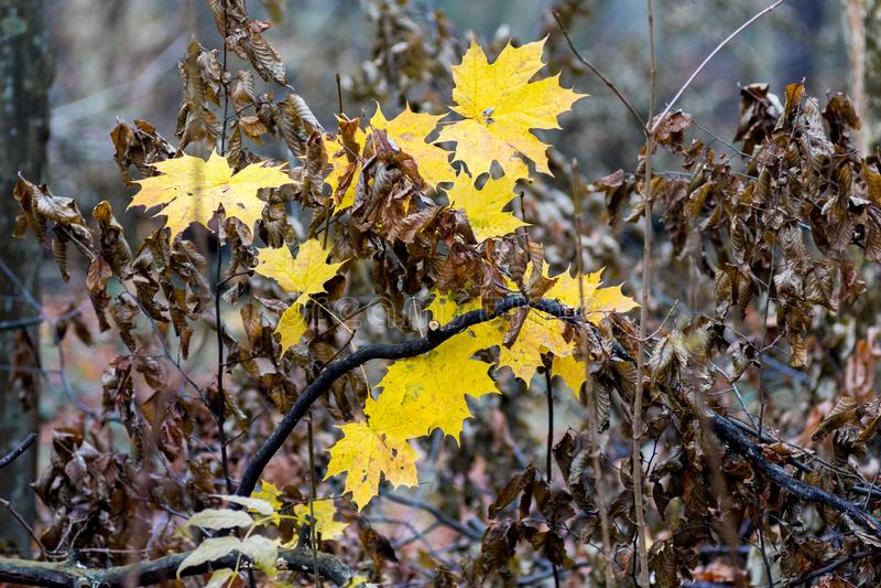 Желтые кленовые листы и коричневые сухие листья граба в осени в пасмурном weather_ стоковое изображение