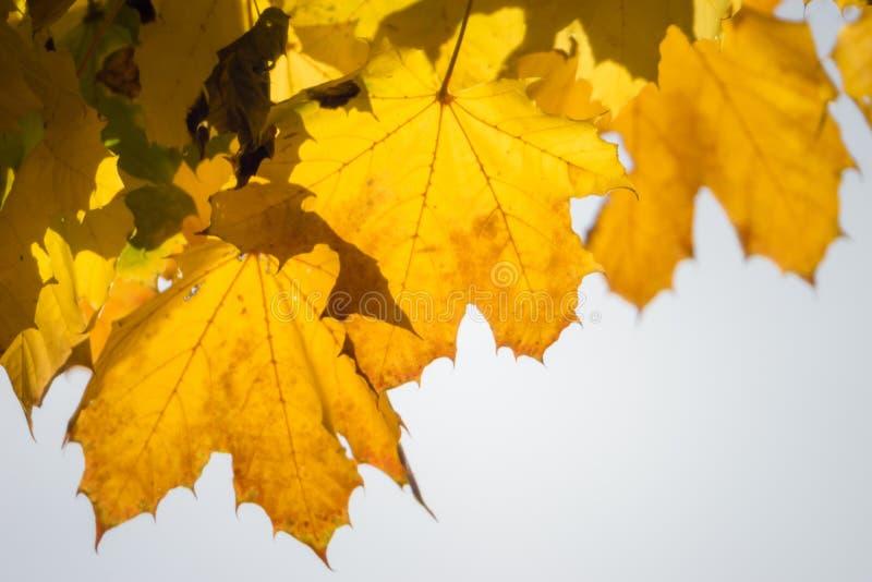 Желтые кленовые листы льнут к их дереву стоковые фотографии rf