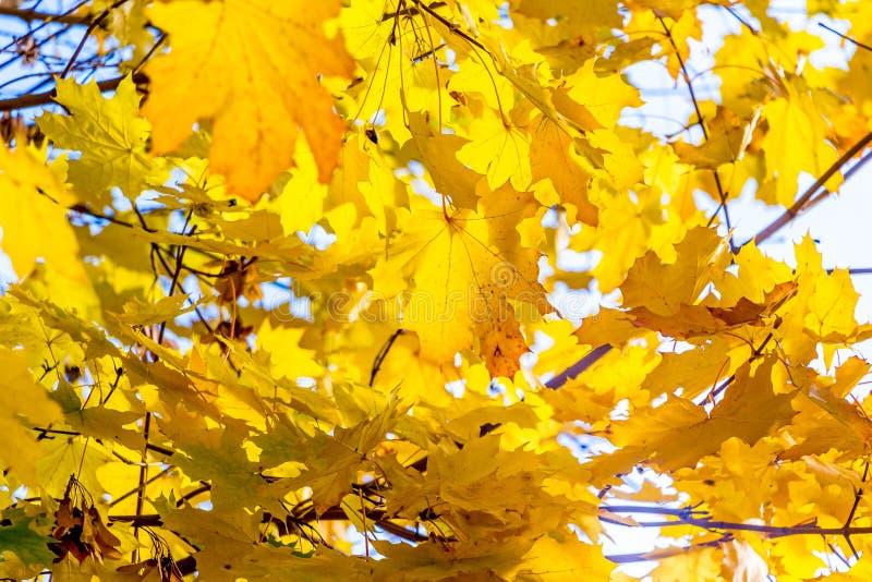 Желтые кленовые листы на дереве в солнечном weather_ стоковое фото rf