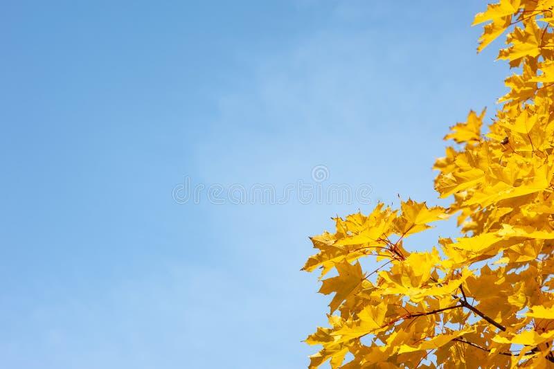 Желтые кленовые листы стоковое изображение