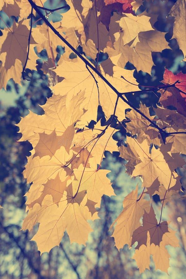 Желтые кленовые листы осени в ярком солнечном свете против голубого неба стоковое фото