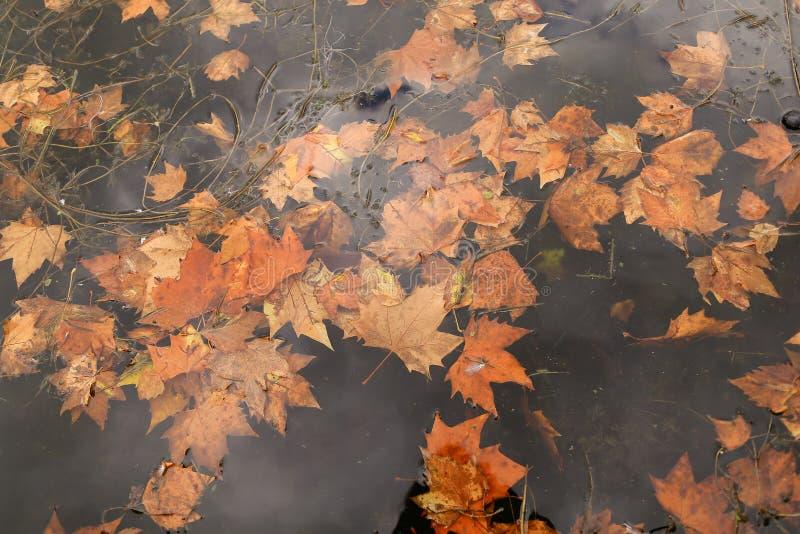 Желтые кленовые листы падая в воду, воодушевленность осени стоковые изображения rf