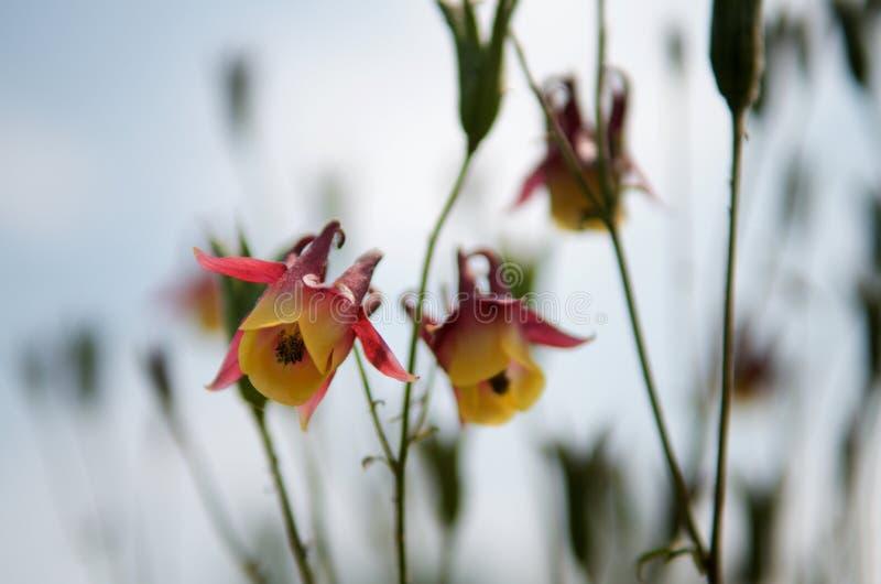 Желтые красные западные columbine цветки в голубой запачканной предпосылке стоковое фото rf