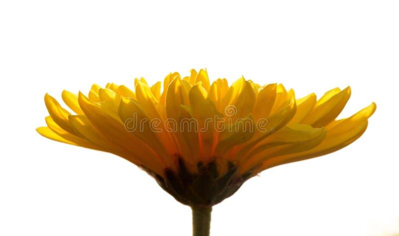 Желтые лепестки цветка против белого фона стоковые изображения